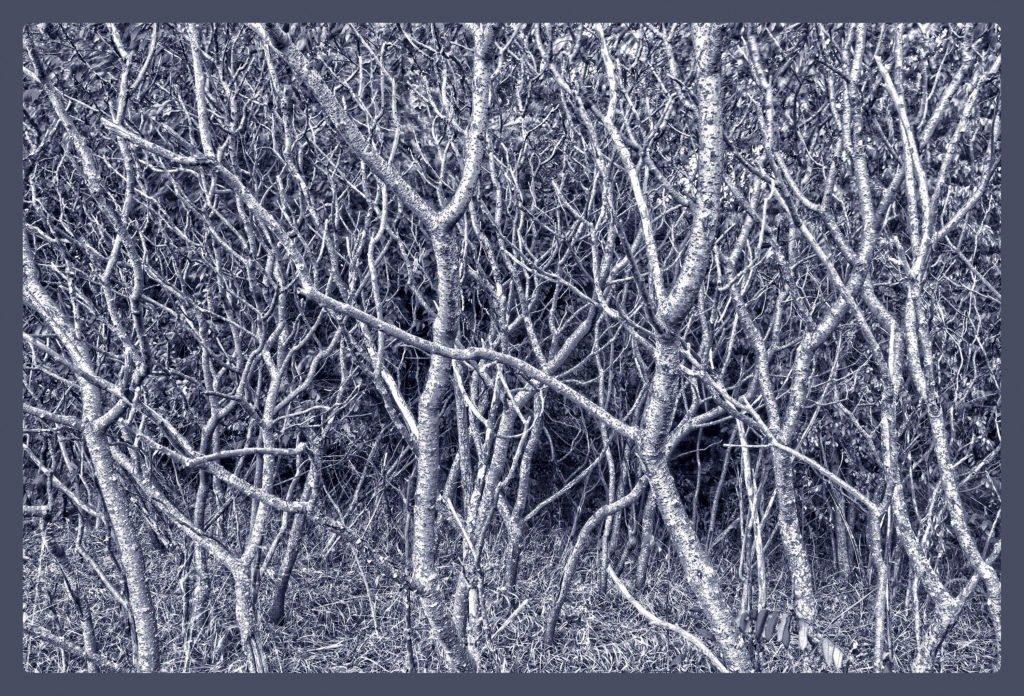Silver-trees-inman-fa--1024x696