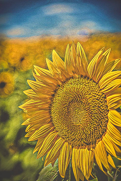 sunflowers-grinter-farm-090316-2-van-go-effect-glow-whisker-fa-