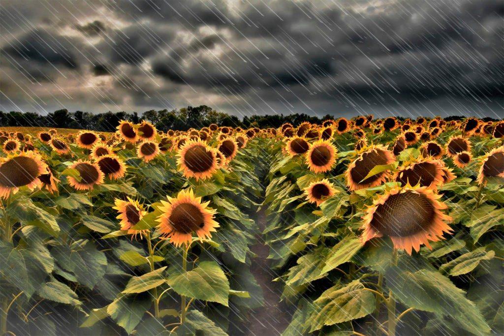 sunflowers-grinter-rain-091014-fa-1024x683